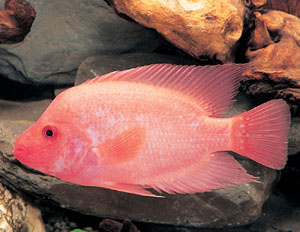 for Red devil fish