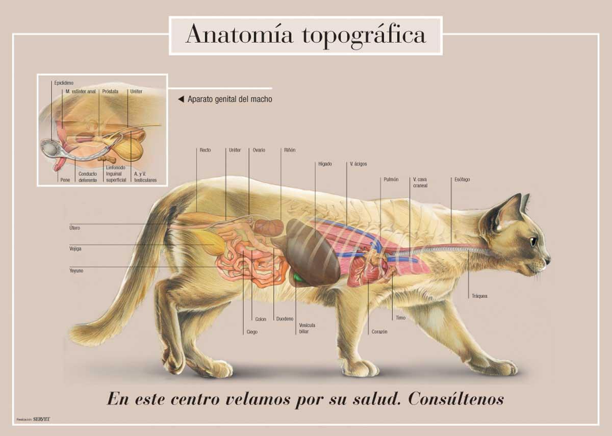 Magnífico órganos Internos Anatomía Gato Componente - Anatomía de ...